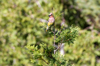 Cedar Waxwingg on a Cedar Tree