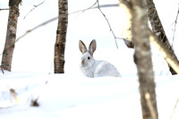 Snowshoe  White Rabbit in the Snow