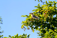 Cedar Waxwing feeding on cherries