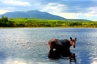 Bull Moose in front of Mt. Katahdin