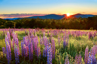 Sunrise over Sampler Field in Sugar Hill, NH - Lupines